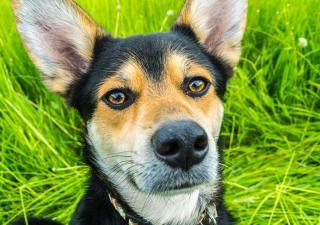 pies uszy